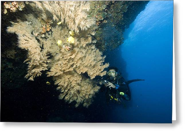 Diver Next To A Coral Fan Sheltering Greeting Card by Tim Laman