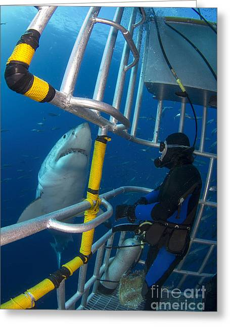 Diver Observes A Male Great White Shark Greeting Card by Todd Winner