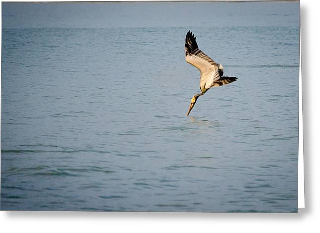 Diving Pelican Greeting Card by Mike Rivera