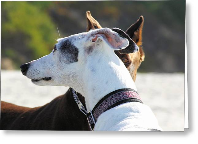 Doberman And Greyhound Staredown Greeting Card by Renae Laughner