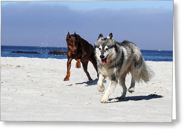 Doberman And Husky Play Greeting Card by Renae Laughner