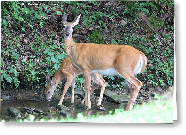 Doe And Fawn In The Creek Greeting Card by Carolyn Postelwait