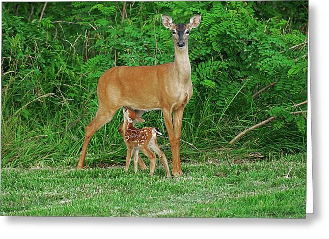 Doe And Nursing Fawn Greeting Card by Fred Kirchhoff