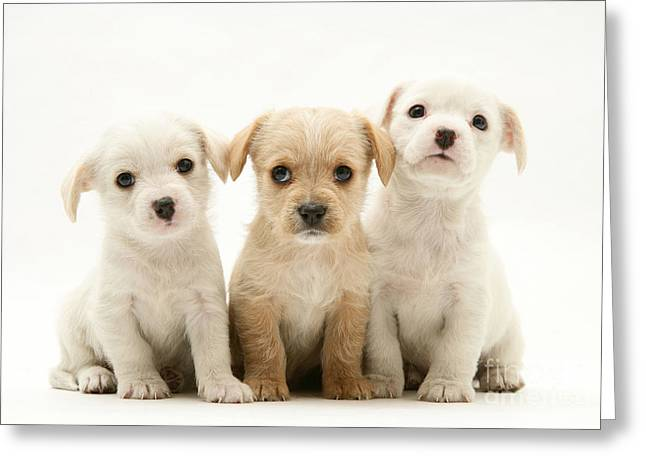Dog Pups Greeting Card by Jane Burton
