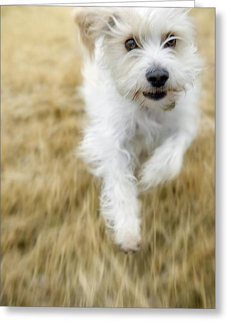 Dog Running Greeting Card by Darwin Wiggett
