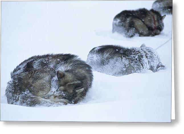 Dogs Sleep In Blizzard On Frozen Ocean Greeting Card by Gordon Wiltsie