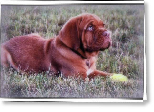 Dogue De Bordeaux Greeting Card by Kay Novy
