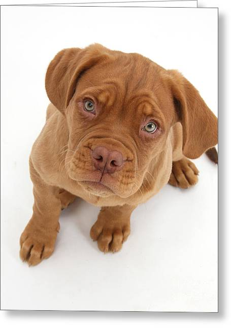 Dogue De Bordeaux Puppy Greeting Card by Mark Taylor