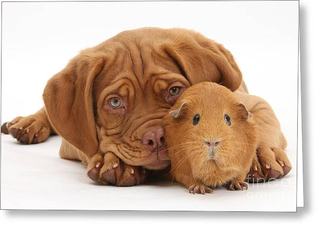 Dogue De Bordeaux Puppy With Red Guinea Greeting Card by Mark Taylor