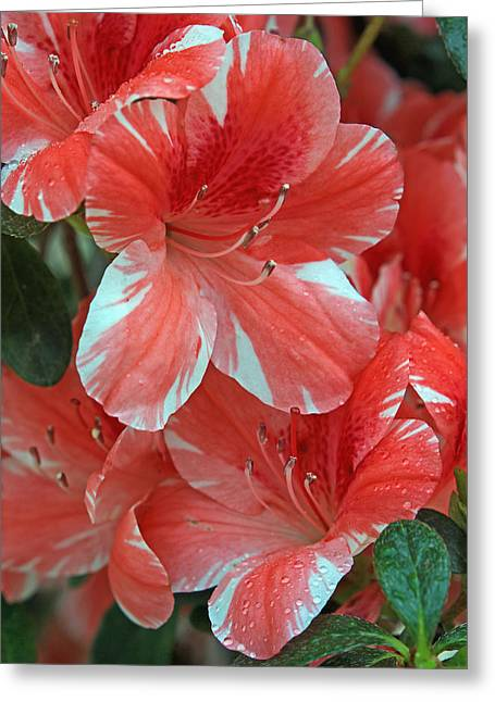 Greeting Card featuring the photograph Dogwood Azalea After Rain by Larry Nieland