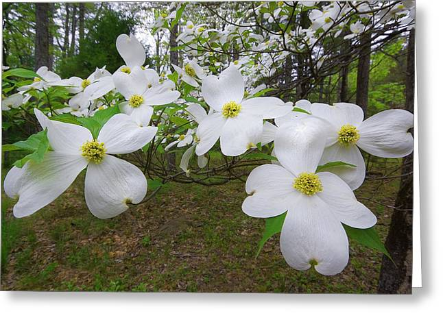Dogwood Blooms Greeting Card by Tony Gayhart