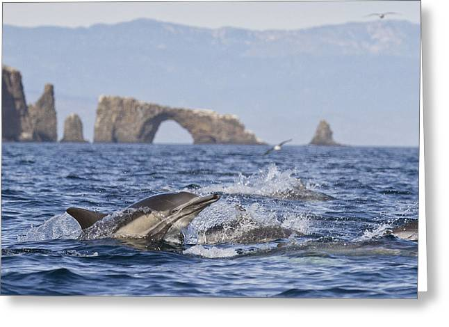 Dolphins With Arch Greeting Card by Will Edwards