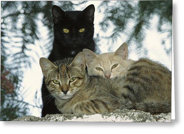 Domestic Cat Felis Catus Group Greeting Card by Konrad Wothe
