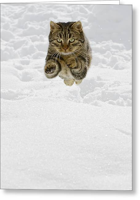Domestic Cat Felis Catus Male Jumping Greeting Card by Konrad Wothe