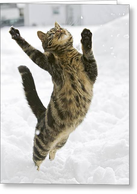 Domestic Cat Felis Catus Male Leaping Greeting Card by Konrad Wothe