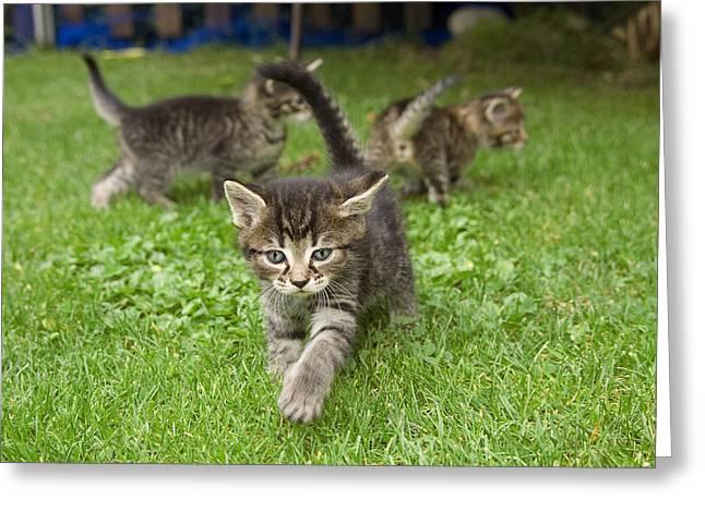 Domestic Cat Felis Catus Three Grey Greeting Card