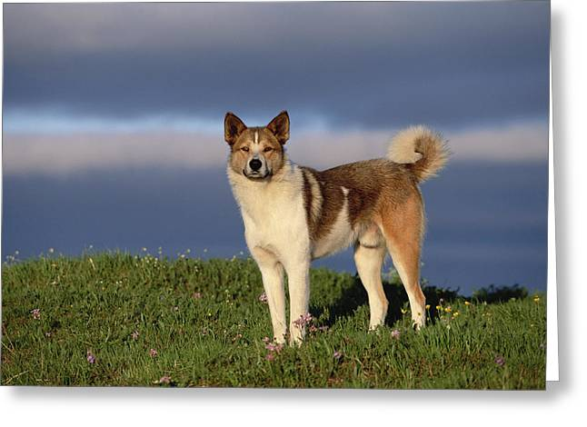 Domestic Dog Canis Familiaris, Taymyr Greeting Card by Konrad Wothe