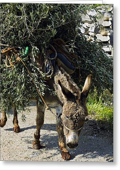 Donkey Carrying Olive Branches Greeting Card by Bob Gibbons