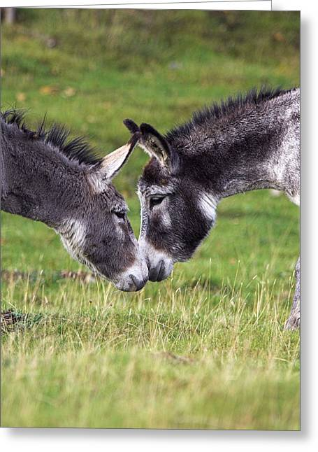 Donkeys Touching Noses Greeting Card by Duncan Shaw