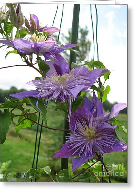 Double Clematis Named Crystal Fountain Greeting Card by J McCombie