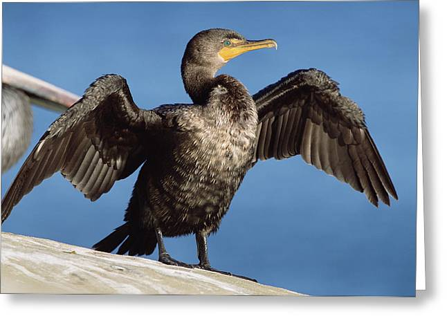 Double Crested Cormorant Drying Wings Greeting Card by Tim Fitzharris