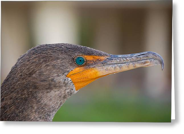 Double-crested Cormorant Greeting Card by Rich Leighton