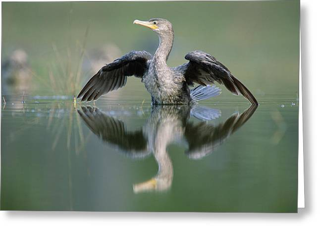 Double Crested Cormorant Stretching Greeting Card by Tim Fitzharris