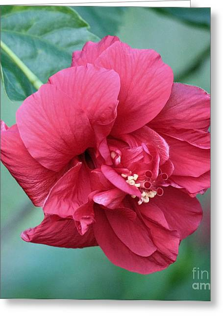 Double Hibiscus Greeting Card by Carol Groenen