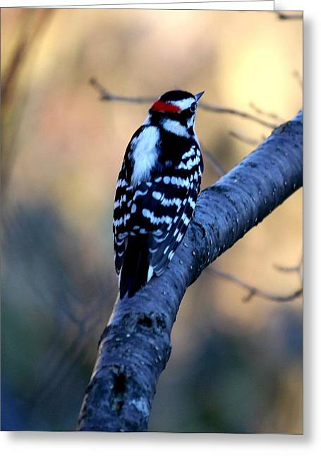 Greeting Card featuring the photograph Downy Woodpecker by Elizabeth Winter