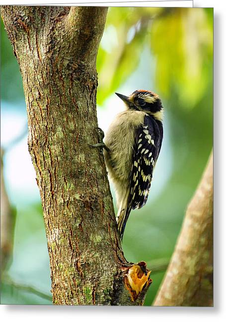 Downy Woodpecker On Tree Greeting Card by Bill Tiepelman