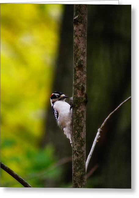 Downy Woodpecker Greeting Card by Scott Hovind