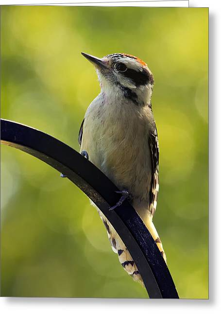 Downy Woodpecker Up Close Greeting Card by Bill Tiepelman