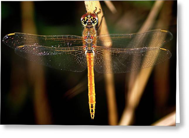 Greeting Card featuring the photograph Dragon Fly 1 by Pedro Cardona