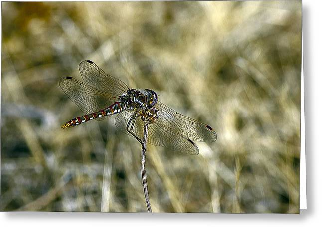 Dragon Fly  Greeting Card by Dorothy Hilde