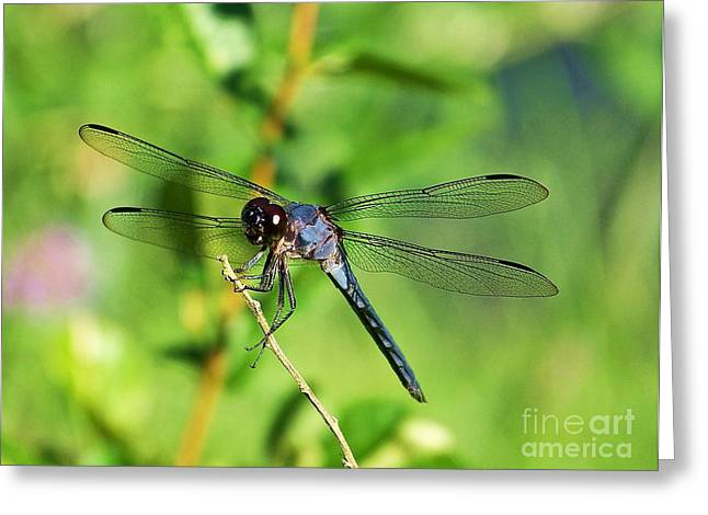 Greeting Card featuring the photograph Dragon Fly  by Eve Spring