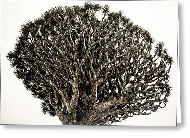 Dragon Tree Greeting Card by Justin Albrecht