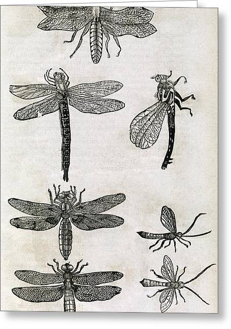 Dragonflies, 17th Century Artwork Greeting Card by Middle Temple Library