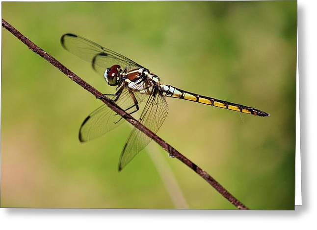 Dragonfly  Greeting Card by Alexander Spahn
