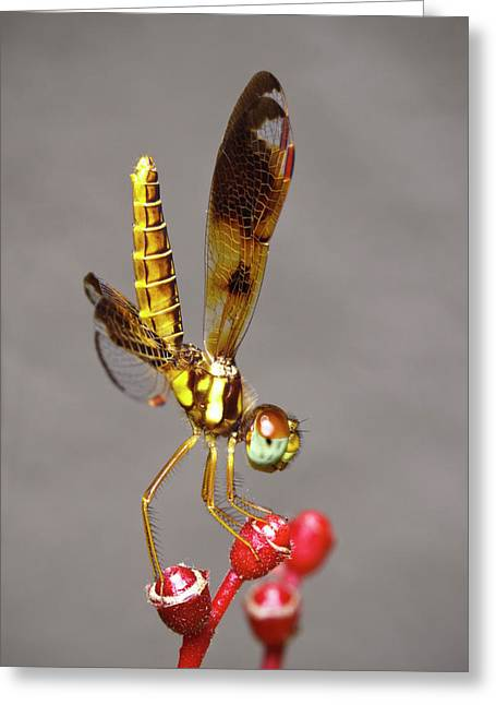 Dragonfly Dancer Greeting Card by Nick  Shirghio