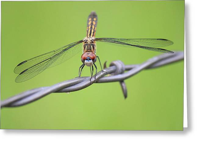Greeting Card featuring the photograph Dragonfly On Barbed Wire by Penny Meyers