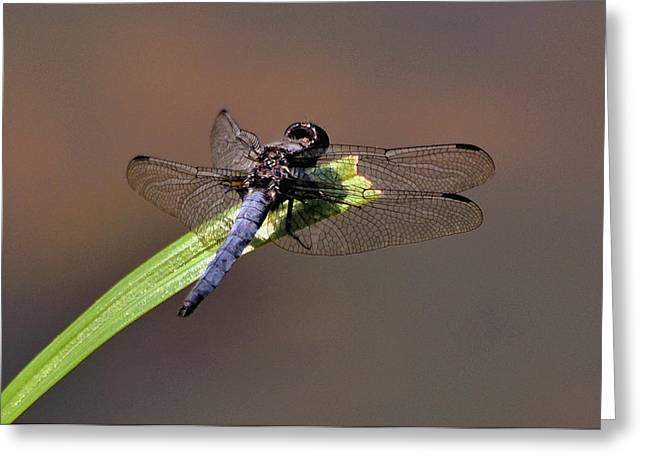 Dragonfly On Goose Feather Pond  - C2121b Greeting Card by Paul Lyndon Phillips