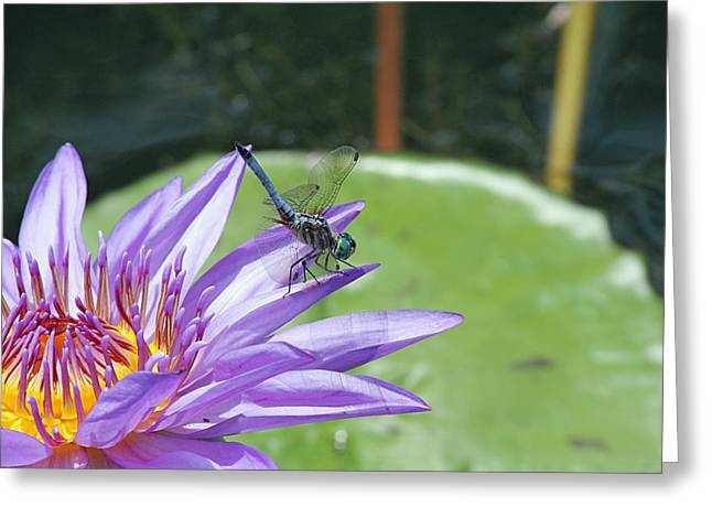Dragonfly On Purple Water Lily Greeting Card by Becky Lodes