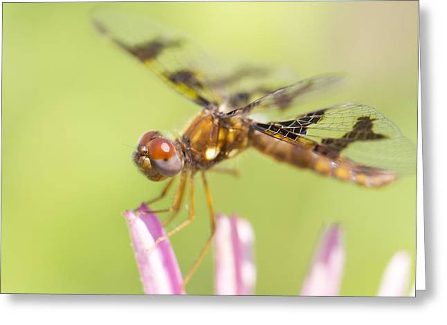 Dragonfly On Tip Of Cornflower Greeting Card by Daphne Sampson