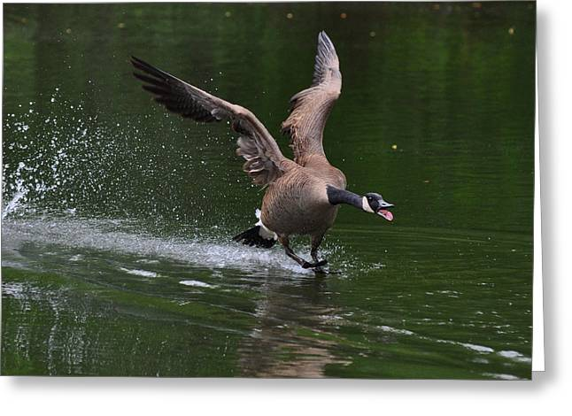 Drake In Mating Season - C0663d Greeting Card by Paul Lyndon Phillips