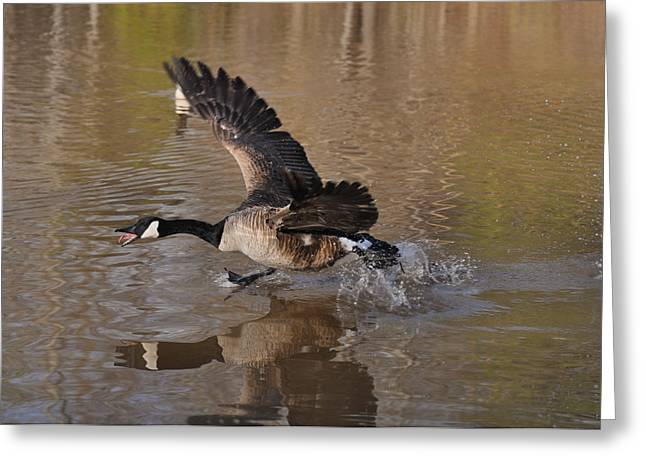 Drake Run Goose Feather Pond  C0232b Greeting Card by Paul Lyndon Phillips
