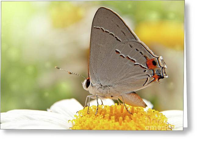 Dreamy Hairstreak Butterfly Greeting Card