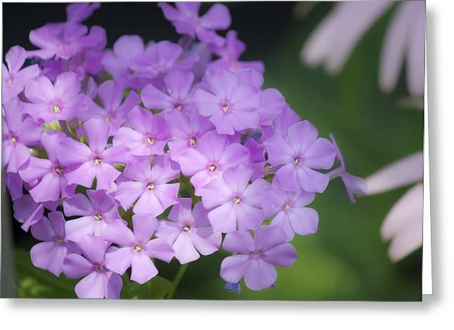 Dreamy Lavender Phlox Greeting Card by Teresa Mucha
