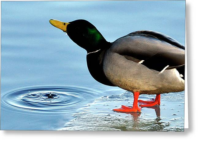 Drinking Duck Greeting Card