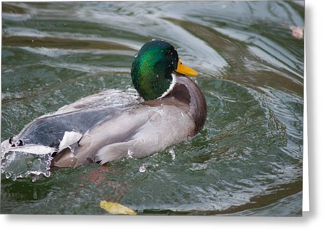 Duck Bathing Series 5 Greeting Card by Craig Hosterman