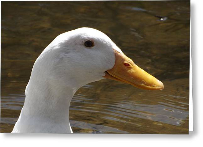 Duck Headshot Greeting Card by Pamela Stanford